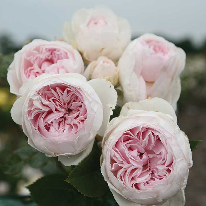 сорт роз Earth Angel Floribunda